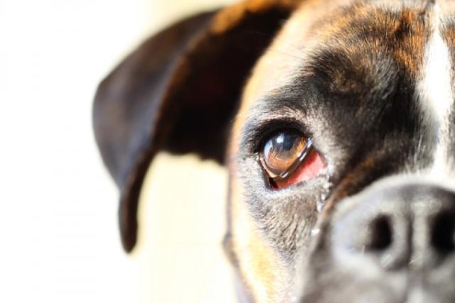 сухой кератоконъюнктивит у собак